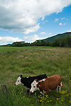 Two cows in Arlington, Vermont