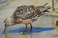 518490024 a wild adult long-billed dowitcher limnodromus scolopaceus in fresh breeding plumage forages in a shallow pond in ventura california united states