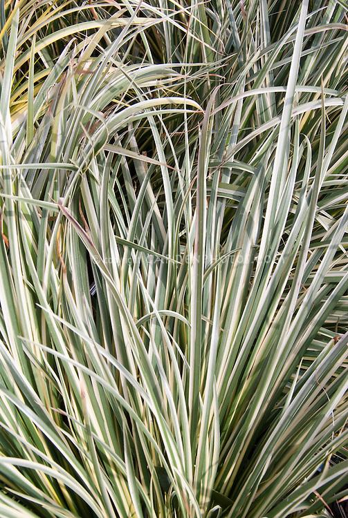 Acorus gramineus grassy variegated foliage leaves Argenteostriatus