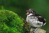 506760308 a wild least auklet aethia pusilla calls out while perching on a cliff face on st george island in the pribiloff islands off the southwest coast of alaska