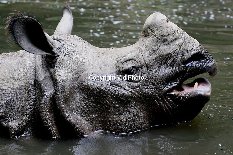 Foto: VidiPhoto..AMERSFOORT - Een neushoorn zwemt vrijdagmiddag een rondje in de vijver van Dierenpark Amersfoort om zich schoon te wassen en om verkoeling te zoeken. Naarmate het warmer wordt, duiken de neushoorns afwisselend in het modderbad om zich een jas van modder tegen vliegjes en de brandende zon aan te meten, om daarna de modder weer af te spoelen en af te koelen in de vijver. Vervolgens begint het ritueel na verloop van tijd weer opnieuw.