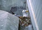 western gull nesting on Alcatraz Island