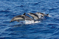 qc71473-D. Common Dolphins (Delphinus delphis). California, USA, Pacific Ocean. .Photo Copyright © Brandon Cole. All rights reserved worldwide.  www.brandoncole.com..This photo is NOT free. It is NOT in the public domain. This photo is a Copyrighted Work, registered with the US Copyright Office. .Rights to reproduction of photograph granted only upon payment in full of agreed upon licensing fee. Any use of this photo prior to such payment is an infringement of copyright and punishable by fines up to  $150,000 USD...Brandon Cole.MARINE PHOTOGRAPHY.http://www.brandoncole.com.email: brandoncole@msn.com.4917 N. Boeing Rd..Spokane Valley, WA  99206  USA.tel: 509-535-3489