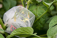 Heirloom tomato plants with mesh bags over the flowers to protect them from cross pollination with other varieties.