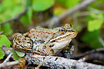 Frog sitting in woods near a lake