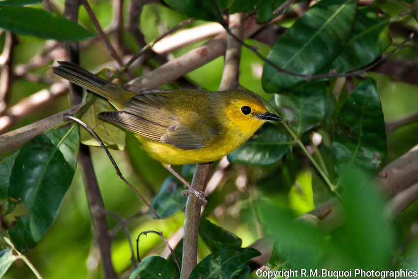 Female Hooded Warbler