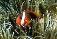 Red and Black Anemonefish (Amphiprion melanopus), Fagatele Bay American Samoa