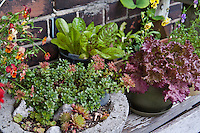 Freckles lettuce in an inventive urban rooftop container garden with a wide variety of edible plants in an even wider variety of contianers.
