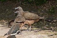 511760049 a pair of wild plain chachalacas ortalis vetula birds  in the rio grande valley hidalgo county south texas