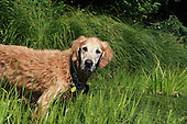 an older male Golden Retriever standing on edge  pond. A hunting dog used to used in retrieving waterfowl
