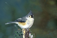 Tufted titmouse (Parus bicolor) in falling snow