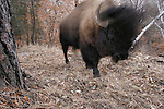 A bison passes by a camera trap.  TNC Niobrara Valley Preserve, Nebraska.