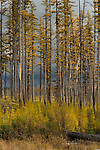 Tamarack trees in the fall near Glacier National Park