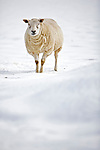 Pregnant sheep in snow covered field