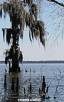 spanish Moss & cypress tree,Morgan City,La.