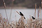 A Common Grackle pair perched on reeds near Diamond Lake in South Minneapolis