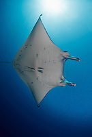 RH0531-D. Reef Manta Ray (Manta alfredi). Mantas and their cousins mobulas are being fished at unsustainable levels in many countries to supply the new trade in gill rakers. Palau, Pacific Ocean.<br /> Photo Copyright &copy; Brandon Cole. All rights reserved worldwide.  www.brandoncole.com