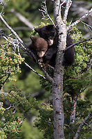 The American black bear or North American black bear (Ursus americanus) cubs are very curious, full of energy and superb tree climbers. They are a lot of fun to watch when they are active, but can also sleep draped over a limb for hours.
