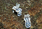 Nudibranch, Chromodoris willani, pair, Lankayan, Sabah two, 2, white and blue black stripes.Malaysia....
