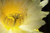 Night Blooming Cereus<br /> St John<br /> U.S. Virgin Islands