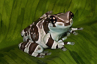Amazon Milk Frog (Trachycephalus resinifictrix) Amazon milk frogs are fairly large frogs, reaching sizes of 2.5 to 4 inches in length. Adult frogs are light grey in color with brown or black banding, while juveniles will exhibit stronger contrasts. As Amazon Milk Tree Frogs age their skin will develop a slightly bumpy texture.<br />  <br /> The &quot;milk&quot; in the name comes from the milky colored fluid these frogs excrete when stressed.