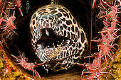 This Honeycomb Moray Eel (Gymnothorax favageneus) is surrounded by Hinge-beak Shrimp (Rhynchocinetes) and has a Cleaner Shrimp (Urocaridella) inspecting its chin, Indonesia.