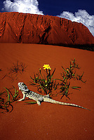 Lizard and Ayers Rock