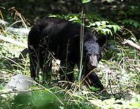 bear shenandoah