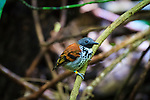 Barro Colorado Island, a site for the study of lowland moist tropical forests owned by the Smithsonian Tropical Research Institute in the Panama Canal and is part of the Barro Colorado Nature Monument.  Spotted antbird