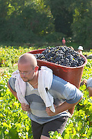 Harvest workers picking grapes. Carrying grapes in a basket. Domaine Gravallon Lathuiliere, Morgon, Beaujolais, France