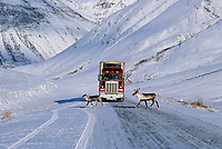 Truck and Caribou on the James Dalton Highway, Alaska, Atigun canyon, Brooks mountain range