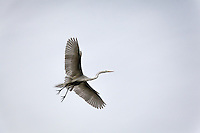 A Great egret in flight, heading to the nesting area in a tree along an urban lagoon.