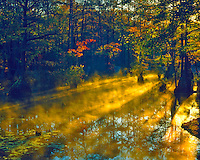 Autumn Morning Fog in Cypress Swamp, Merchants Millpond State Park, North Carolina