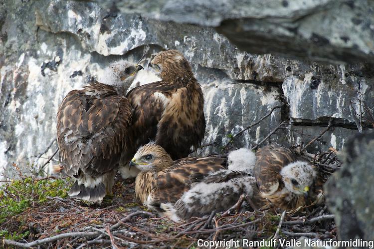 Fjellvåk på reir ved Repparfjordelva. ---- Rough-legged buzzard.