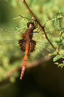 342860003 a very rare new to the us wild female arch-tipped glider dragonfly tauriphila argo perched on a vine in bentsen rio grande valley state park south texas