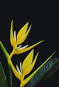 Heleconia angusta, flava