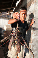 Pulau Batudaka, Togean Islands, Central Sulawesi, Indonesia. A captured Coconet crab, that lives in the jungle. The Bajau Sea Gypsies one roamed the seas as nomads. Nowadays they live an empoverished life of fishing and collecting trepang sea cucumbers from their stilted villages. In the 1990's they started cyanide and dynamite fishing causing major damage to the reefs and their future fish stocks. The Togean or Togian Islands are an archipelago of 56 islands and islets, in the Gulf of Tomini, off the coast of Central Sulawesi, in Indonesia. The dark green of the islands and the cristal clear water is a perfect setting and has attracted many travellers during the last years. Travellers endure the long journey in search of the mythical beach paradise. Photo by Frits Meyst/Adventure4ever.com