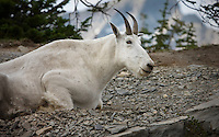 A White Mountain Goat sitting  in the dirt in front of a distant mounatin