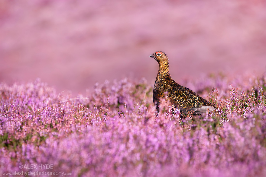 Red grouse {Lagopus lagopus scoticus} on heather moorland, Derwent Edge, Peak District National Park, Derbyshire, UK, September.