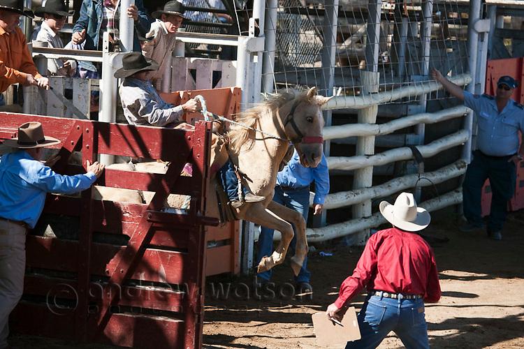 A saddle bronc rider comes out of the chute at the Mareeba Rodeo.  Mareeba, Queensland, Australia