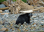Black bear walking along the shore searching for fish roe washed up onto the shore