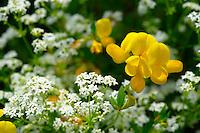 Alpine Birdsfoot Tefoil - Lotus Alpinus - Wild meadow flower - Grindelwald Switzerland