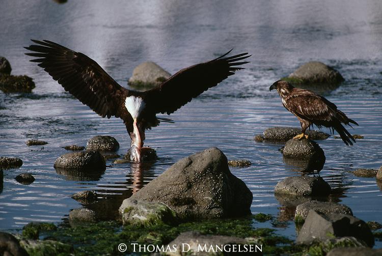 Bald eagles mangelsen images of nature stock agency for Fish eating eagle