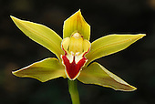 Orchid flower (Cymbidium), Putumayo Department, Colombia.