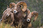 rutting rams chasing ewe close up full frame snowing