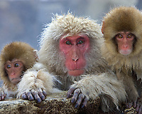 Adult and two young Japanese macaques (snow monkeys) on rock ledge, Honshu Island, Japan.
