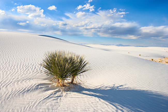 Yucca plant in sunshine at White Sands National Monument, New Mexico