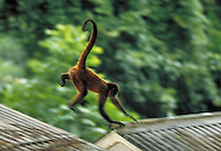 Spider monkey leaps from roof to roof at Smithsonian Tropical Research Institute on Barro Colorado Island in Panama. The island is located in Gatun Lake in the Panama Canal. Panama.