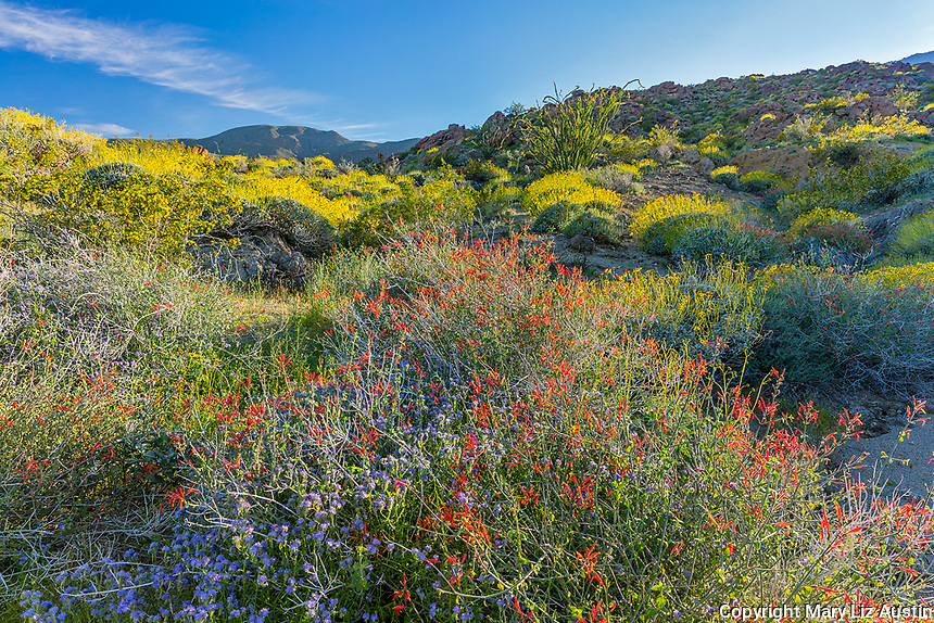 Anza-Borrego Desert State Park, CA: Red flowering chuparosa (Beloperone californica), blue flowering phacelia (Phacelia distans) with yellow flowering Brittlebush (Encelia farinosa) and Ocotillo (Fouquieria splendens) on the distant hillside in Glorieta Canyon in spring