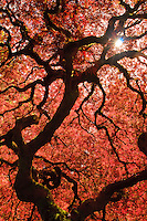 A sunburst is seen through the curved branches of a Japanese Maple in Spring with bright backlit red leaves as viewed from underneath tree in the Portland Japanese Garden